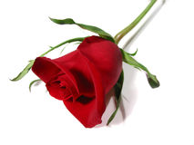 Red rose white background Royalty Free Stock Photos