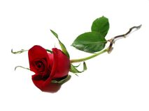 Red rose white background stock photography