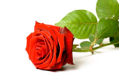 Red rose on white background. Red rose lying on white background Royalty Free Stock Photo