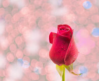 Red rose  on white background. Royalty Free Stock Images
