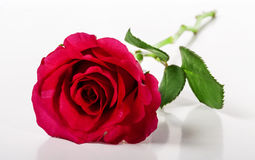 Red rose. Royalty Free Stock Image
