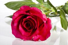 Red rose. Royalty Free Stock Photos
