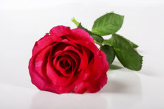 Red rose. Stock Image