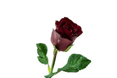 Red rose on white background Royalty Free Stock Images