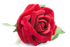 red rose  on white Stock Images