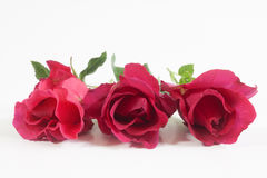 Red rose  on white background. Stock Photos