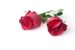 Red rose  on white background. Royalty Free Stock Photo