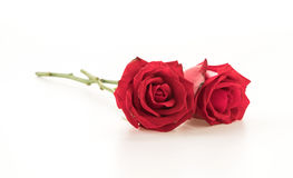 Red rose. On white background Royalty Free Stock Photos