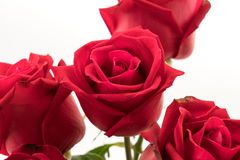 Red rose. On white background Royalty Free Stock Image