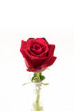 Red rose. On white background Royalty Free Stock Photography