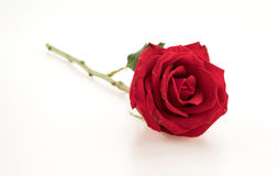 Red rose. On white background Royalty Free Stock Photo