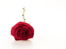Red rose. On white background Stock Images