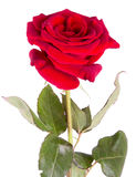 Red rose on a white background Royalty Free Stock Photography