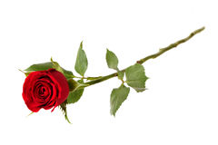 Red rose on a white background. Blossoming red rose on a white background Stock Image