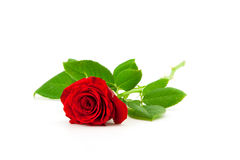 Red rose on a white background Stock Photography