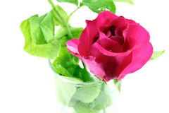 Red rose in white background. Close red rose in white background Royalty Free Stock Photography