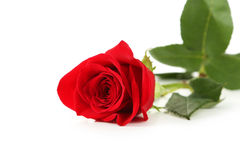 Red rose on white background, close up Royalty Free Stock Photo