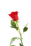 Red rose on white background, close up Stock Photo