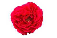 Red rose on a white background, close-up. Inflorescence of the red rose, isolated on white background, macro Stock Image
