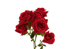 Red rose on white background. Red rose a white background close-up Royalty Free Stock Photo