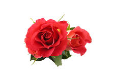 Red rose on white background. Red rose a white background close-up Stock Photography