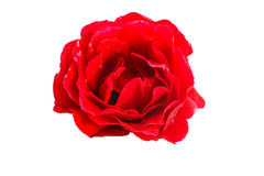 Red rose on a white background close up. Red rose with water drops isolated on white background Stock Photography