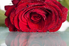 Red rose on white background. Red rose covered with dew Royalty Free Stock Photography