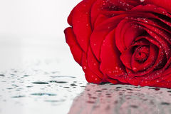 Red rose on white background. Red rose covered with dew Royalty Free Stock Photos