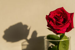 Red rose white background drops Royalty Free Stock Photos
