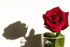 Red rose white background drops Stock Images