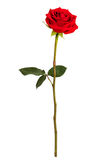 Red rose on a white background Royalty Free Stock Image