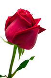 Red rose on white background. Red rose fresh decoration on white background for valentine day Stock Image