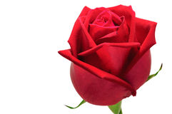 Red rose on white background. Red rose fresh decoration on white background for valentine day Royalty Free Stock Image