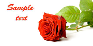 Red rose on white background horizontal banner Royalty Free Stock Photo