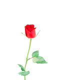 Red rose  on white background. Stock Images