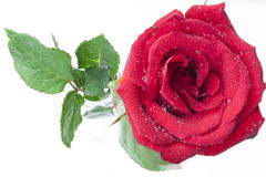 Red rose on white background. Old red rose on white background Stock Photos