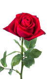 Red rose in white background Stock Image