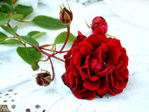 Red rose on a white background. Selective focus Royalty Free Stock Photography