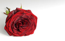 Red Rose on white background Stock Photos