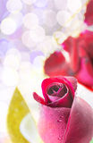 Red rose on white background, Valentines Day background Stock Photo