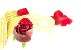 Red rose on white background, Valentines Day background Royalty Free Stock Images