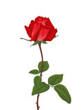 Red rose on white background. Vector Stock Images