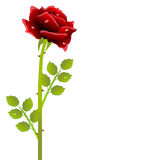 Red rose on a white background Royalty Free Stock Images