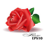 Red rose on white background. Vector illustration. Stock Photos