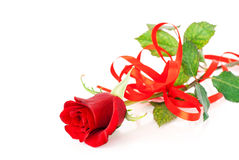 Red rose on the white Royalty Free Stock Image
