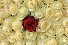 Red rose in white bouquet Stock Photos