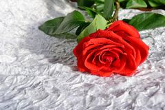 Red rose on white fabric. On the petals of rose water drops. Rose scarlet on white velvet Royalty Free Stock Photos