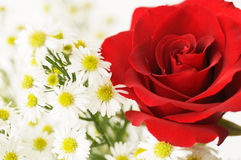 Red rose and white flowers. Close up Stock Images