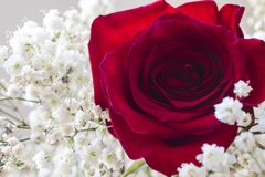 Rose. Red rose and white flowers Royalty Free Stock Images