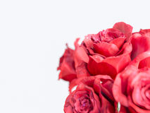 Red rose  on white holiday background Royalty Free Stock Photo
